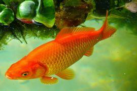 Tapin Siap Jadi Sentra Budidaya Ikan Mas