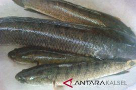 Tapin Prioritaskan Budidaya Ikan Gabus
