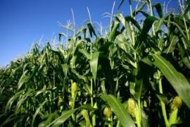 Balangan Corn Production Exceeds Target Significantly