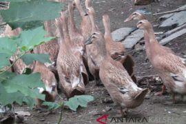 Banjar Kembangkan Peternakan Itik di Cintapuri