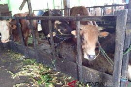 Realisasi kebuntingan sapi di Tabalong 74,33 persen