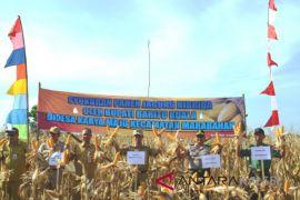 Petani Batola panen jagung hibrida 10 hektare