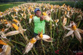 Sistem lubang terbukti lipatgandakan produksi jagung