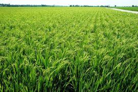 Dirjen PSP apresiasi Batola kembangkan pertanian
