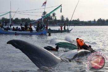 Seekor paus terdampar di Wakatobi Sul-Teng
