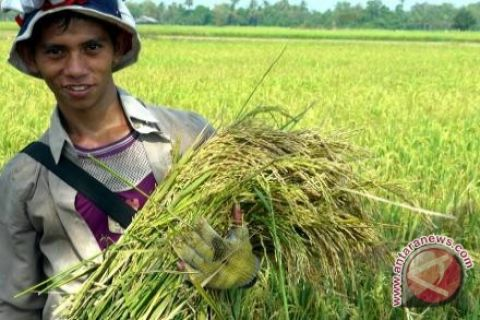 Tanah Bumbu develops superior paddy