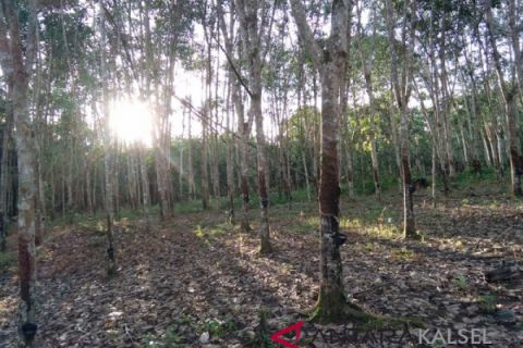 South Kalimantan's rubber exports rose 79.99 percent