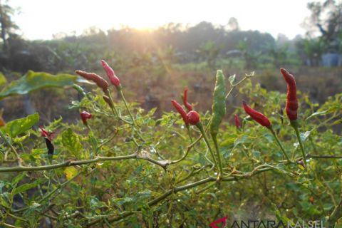 Balangan residents busy cultivating chili
