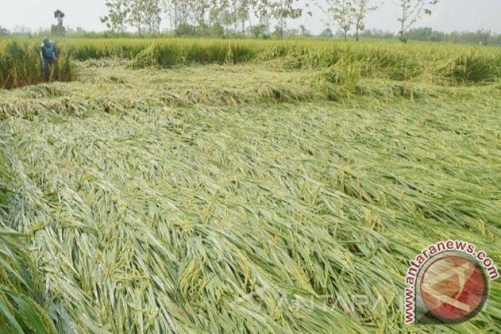 Rice Plant In Kotabaru Attacked By Walang Sangit Antara News