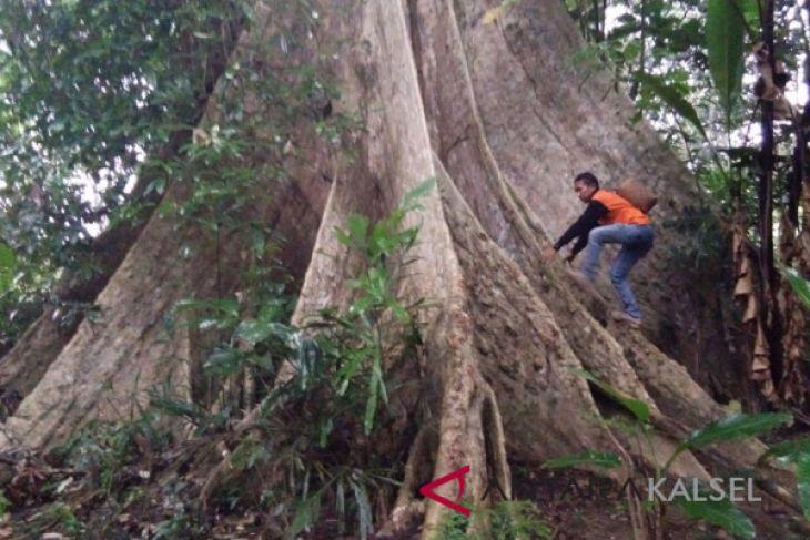 Pecinta Lingkungan Balangan Temukan Pohon Sangat  Besar