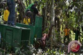 BOSF Gandeng Swasta Kelola Pulau Prapelepasliaran Orangutan