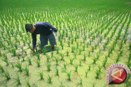 Areal Padi Penajam Bertambah 7.000 Hektare