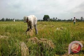 Bupati Penajam Dorong Petani Terapkan Mina Padi