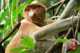 Populasi Bekantan di Kalimantan Terancam