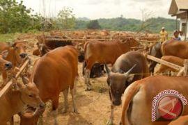 Disnak Kaltim siapkan 15.306 sapi hadapi Ramadhan-Lebaran