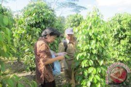 Disbun Kaltim ekstensifikasi dan intensifikasi 100 hektare tanaman lada