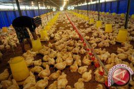 Himpuli Kaltim Didorong Cetak Bibit Ayam Lokal