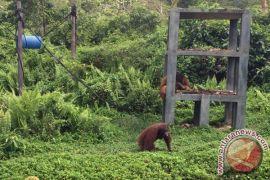 BOSF Kembali Lepasliarkan Orangutan ke Kehje Sewen