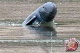 Pesut Terperangkap Dibuatkan Jalur Keluar Menuju Mahakam