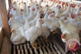 Konsumsi Daging Kaltim Didominasi Ayam Broiler