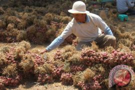 Petani Balikpapan Berhasil Panen Bawang
