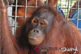 Lima orangutan dilepasliarkan di hutan Kutai Timur