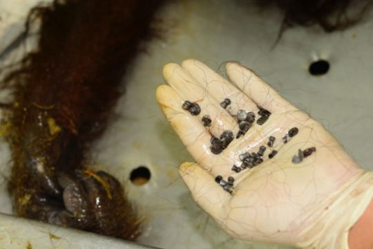 Pembunuh Orangutan Kaltim divonis 7 bulan penjara