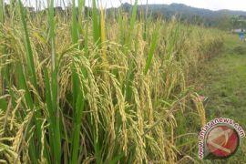 Jaringan irigasi pertanian di Kampung Sobei Teluk Wondama kurang optimal