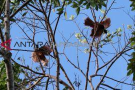 Wisatawan Kagumi Hutan Waigeo Raja Ampat
