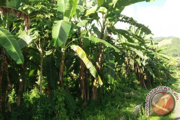 Teluk Wondama kembangkan perkebunan pisang raja
