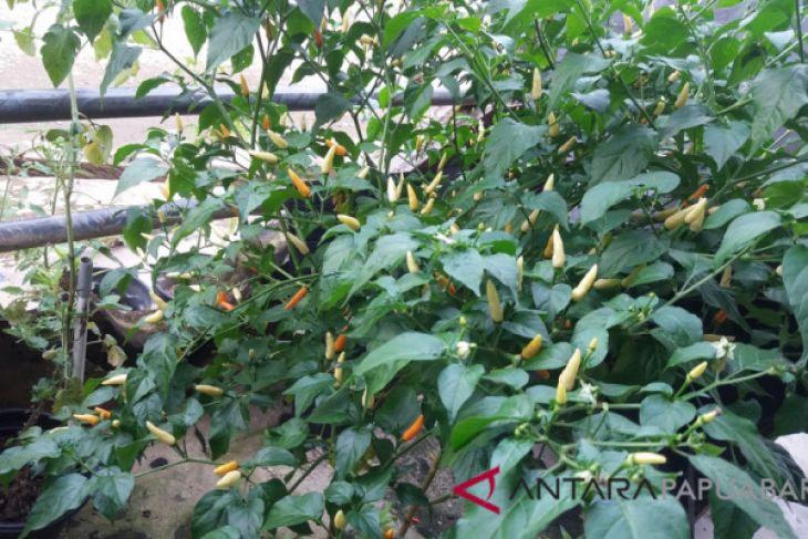 Petani Sayuran di Papua Barat Mencapai 47 Ribu