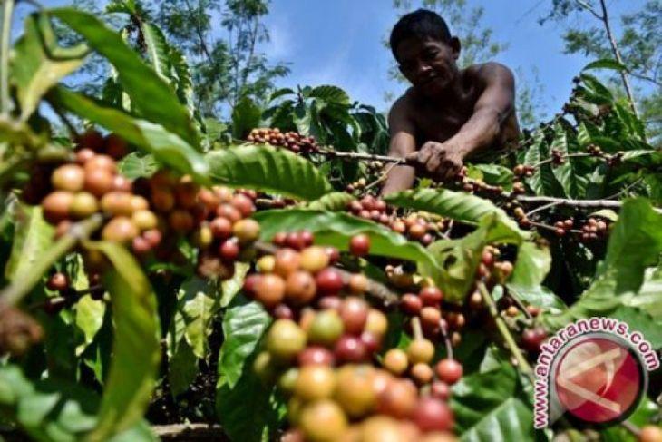 Papua Barat kembangkan perkebunan kopi