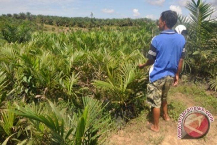 Kementan remajakan 5.000 hektar perkebunan sawit milik masyarakat di Manokwari