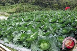 Kecamatan Sipirok Berpotensi Penghasil Sayuran