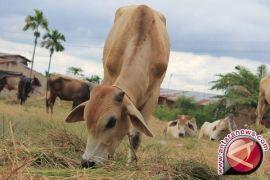 Ketersediaan hewan untuk Idul Adha Sumut memadai