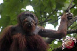 Spesies Orangutan Tapanuli Ditemukan Di Batangtoru