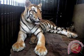 Harimau Sumatra Diperkirakan Ada Di Aek Nauli