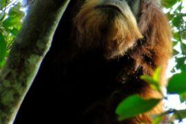RFI Komit Jaga Orangutan Tapanuli
