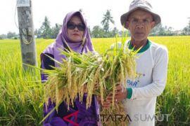 Hasil panen padi