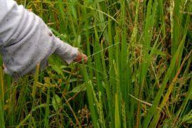 200 hektare padi diserang wereng