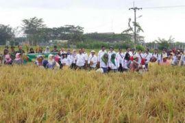 Petani Langkat panen padi