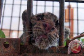 Seorang warga Madina digigit harimau