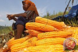 Pusat distribusi jagung Bulog  Sumut dibangun Maret