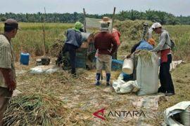 Realisasi panen padi petani Langkat 33,29 persen
