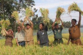 Wabup dan petani panen padi bersama