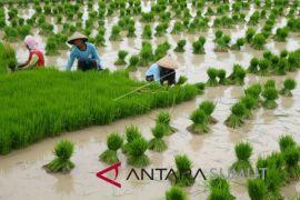 Sasaran tanam padi Sumut 1.216.699 hektare