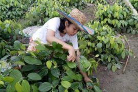Patani Langkat persiapkan 200.000 batang lada perdu