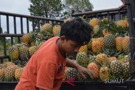 Panen nenas Sipahutar hasilkan 50 ribu buah per minggu