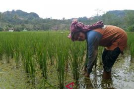 PT.Agincourt Resources gairahkan ekonomi warga lewat sentra pertanian
