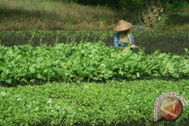 Petani holtikultura dan sayuran panen